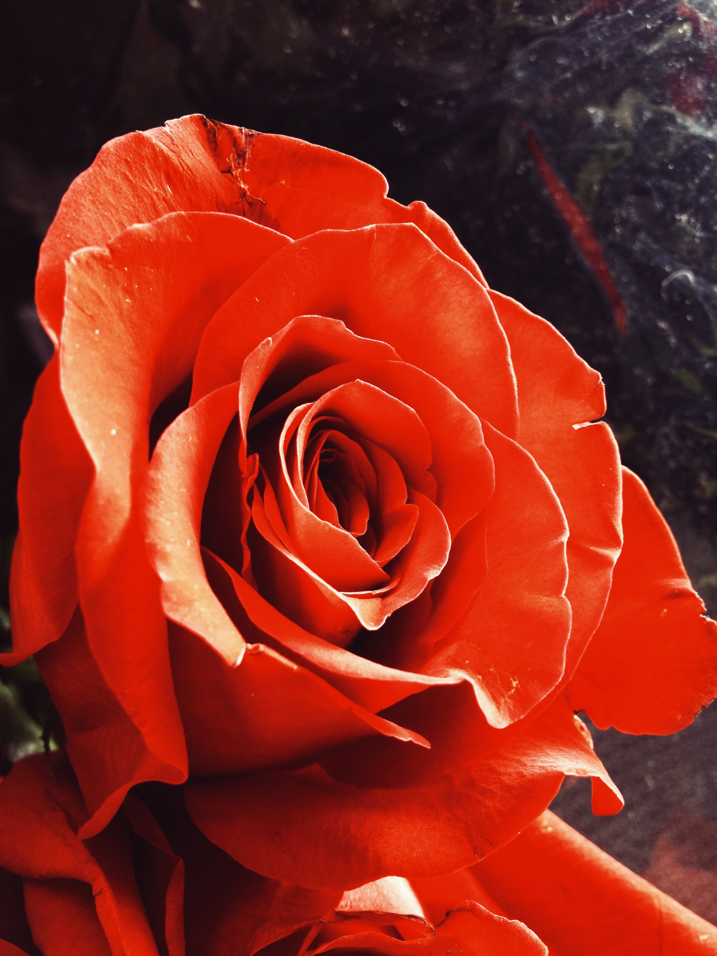 iPhone 4 - Red Rose with fine detail